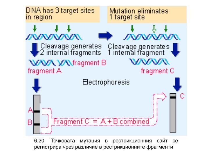 6.20. Точковата мутация в рестрикционния сайт се регистрира чрез различие в рестрикционните фрагменти