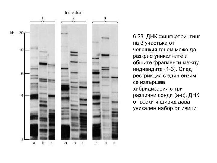 6.23. ДНК фингърпринтинг на 3 участъка от човешкия геном може да разкрие уникалните и общите фрагменти между индивидите (1-3). След рестрикция с един ензим се извършва хибридизация с три различни сонди (а-с). ДНК от всеки индивид дава уникален набор от ивици