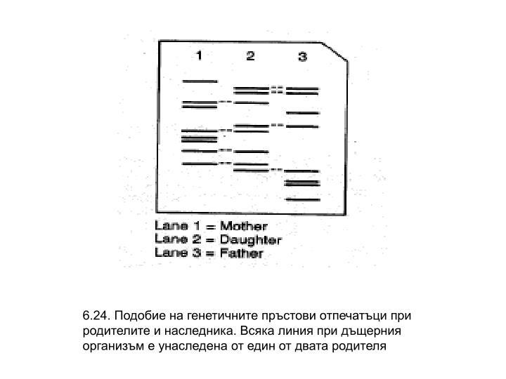 6.24. Подобие на генетичните пръстови отпечатъци при родителите и наследника. Всяка линия при дъщерния организъм е унаследена от един от двата родителя