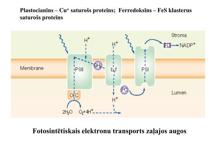 Plastocianīns – Cu