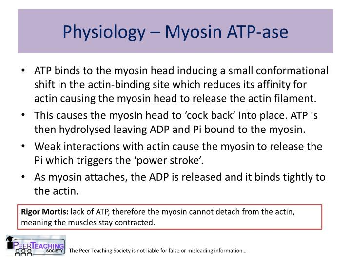 Physiology – Myosin ATP-ase