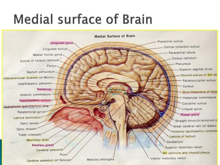 biological foundation of language