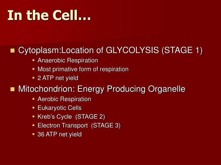 Cytoplasm:Location of GLYCOLYSIS (STAGE 1)