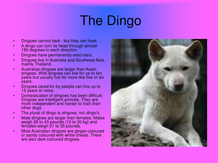 Dingoes cannot bark - but they can howl.
