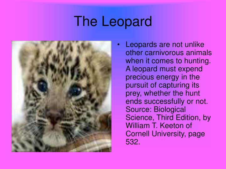 Leopards are not unlike other carnivorous animals when it comes to hunting. A leopard must expend precious energy in the pursuit of capturing its prey, whether the hunt ends successfully or not.