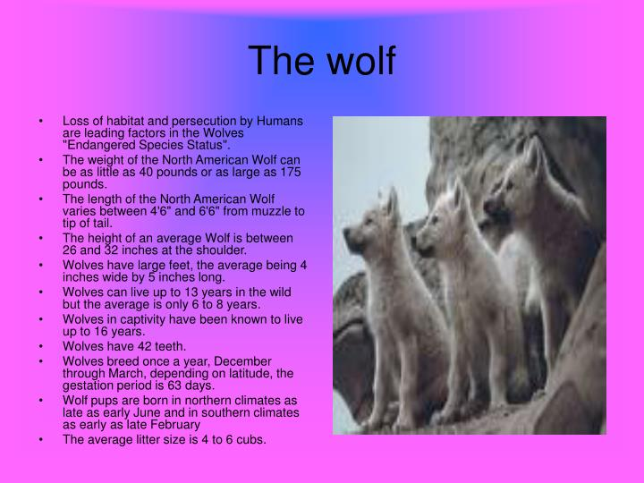 """Loss of habitat and persecution by Humans are leading factors in the Wolves """"Endangered Species Status""""."""