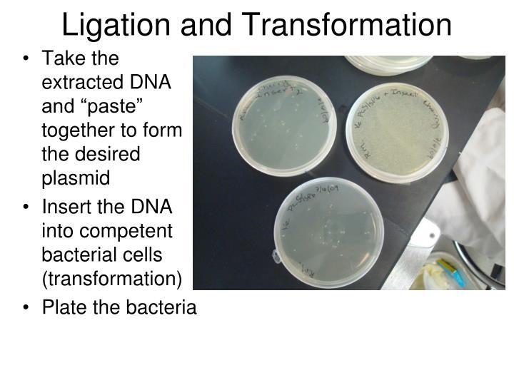 Ligation and Transformation
