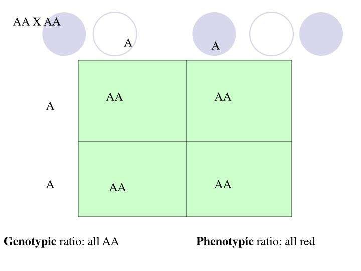 PPT - Genotypic ratio: all AA PowerPoint Presentation ...