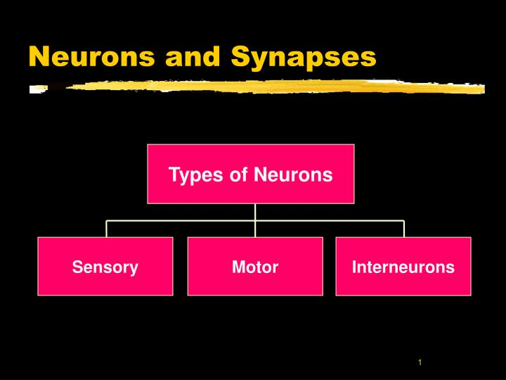 neurons and synapses n.