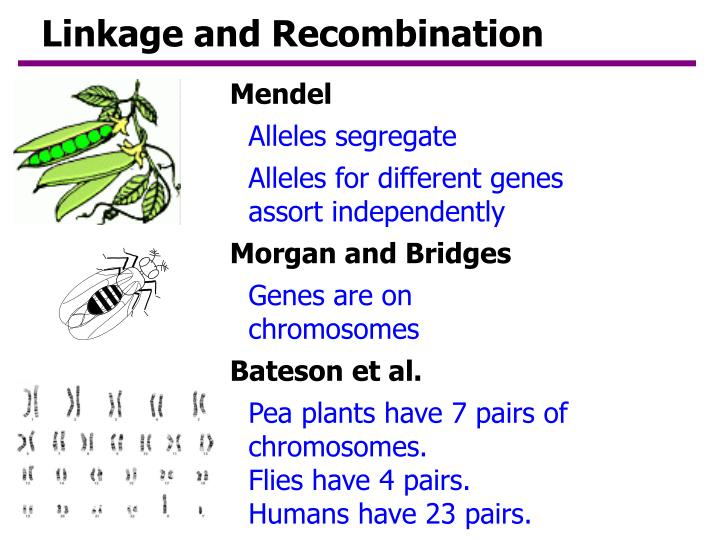 linkage and recombination n.