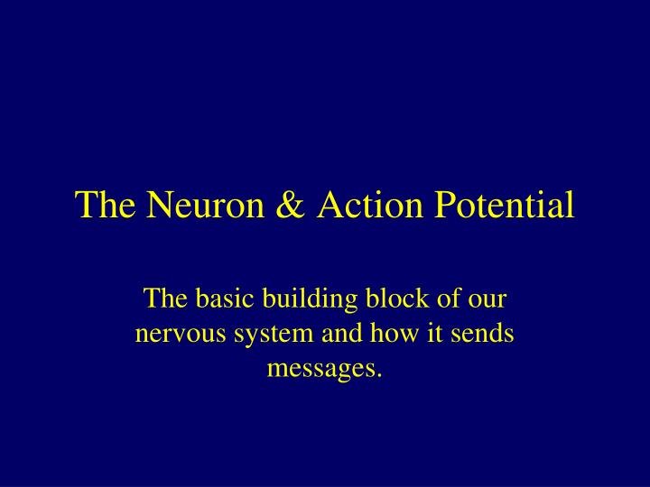 the neuron action potential n.