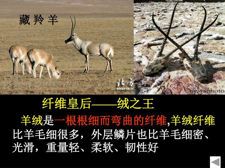 藏 羚 羊