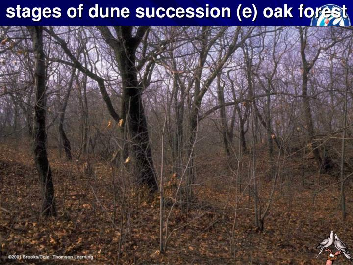 stages of dune succession (e) oak forest