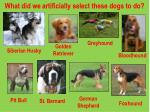 what did we artificially select these dogs to do