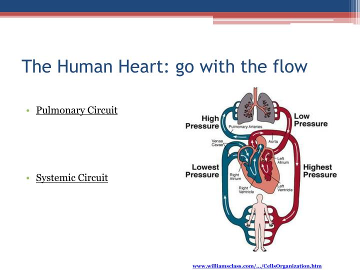 The Human Heart: go with the flow
