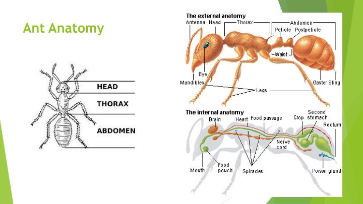 Fire ant anatomy