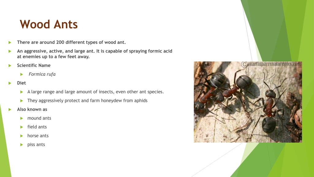 PPT - Types of Ants PowerPoint Presentation - ID:6191505