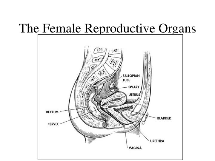 The female reproductive organs1