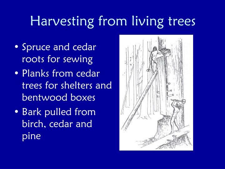 Harvesting from living trees