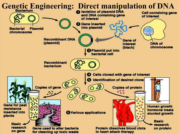 Genetic Engineering:  Direct manipulation of DNA
