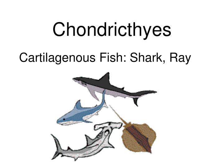 Chondricthyes