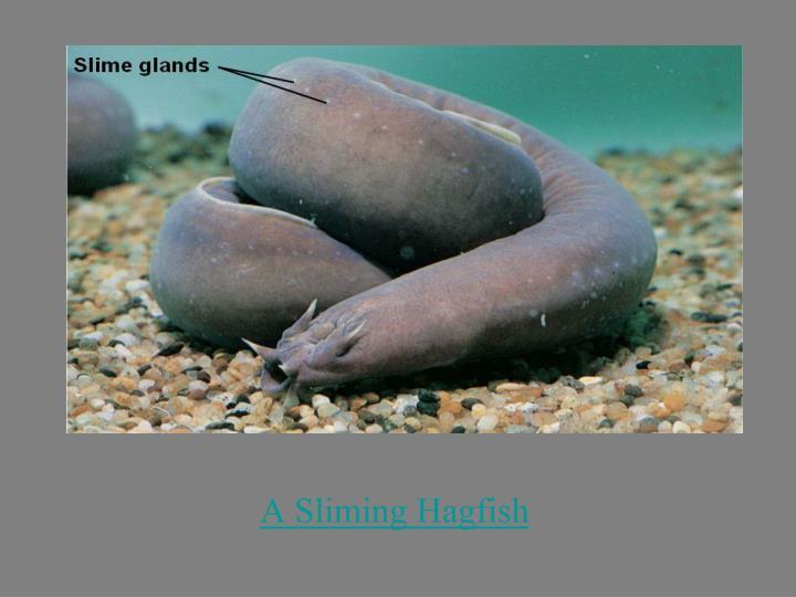 A Sliming Hagfish