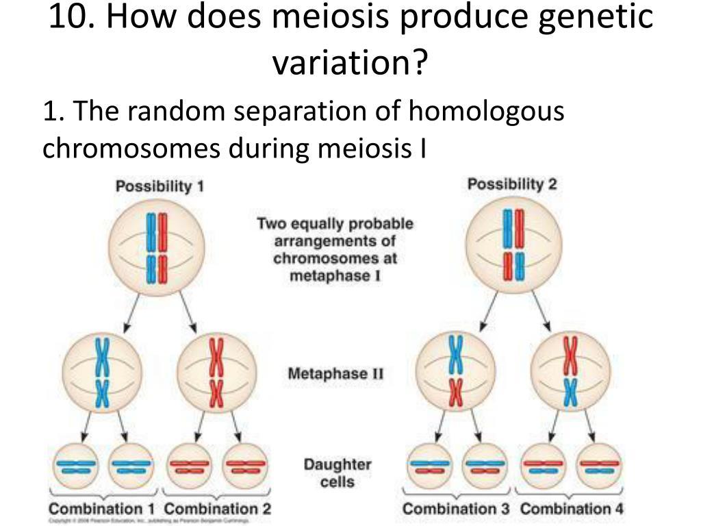 Genetic Makeup Of Daughter Cells In Meiosis - Mugeek ...