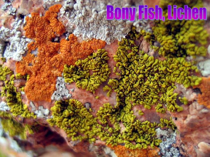 Bony Fish, Lichen