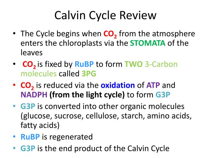 Calvin Cycle Review