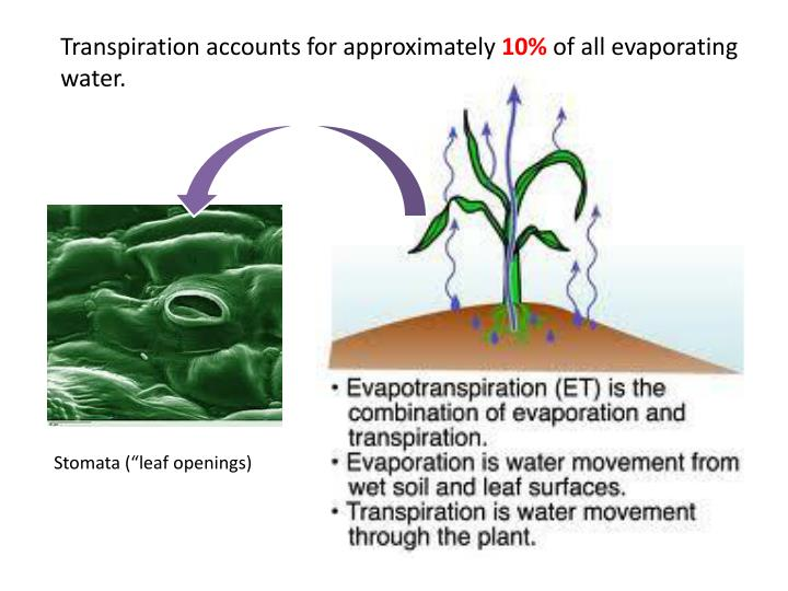 Transpiration accounts for approximately