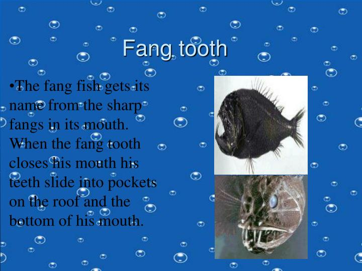 The fang fish gets its name from the sharp fangs in its mouth. When the fang tooth closes his mouth his teeth slide into pockets on the roof and the bottom of his mouth.