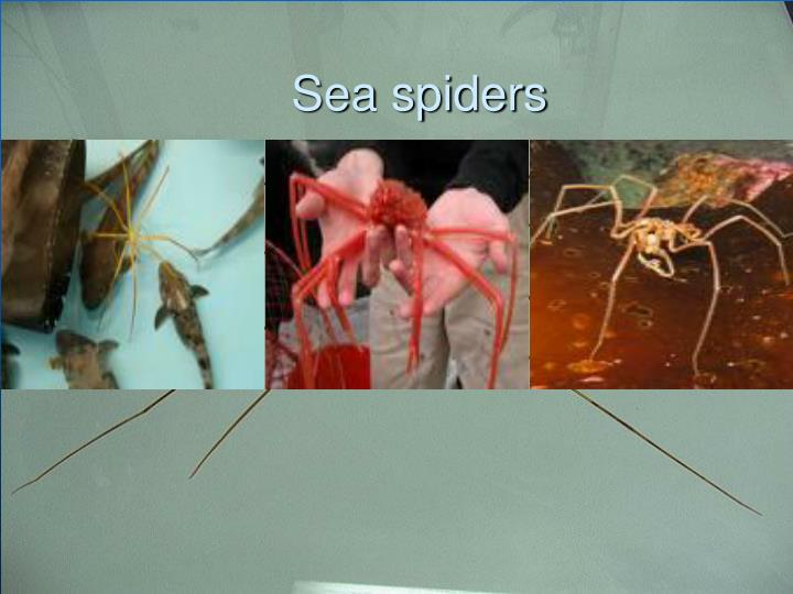 Sea spiders