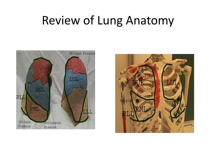Review of Lung Anatomy