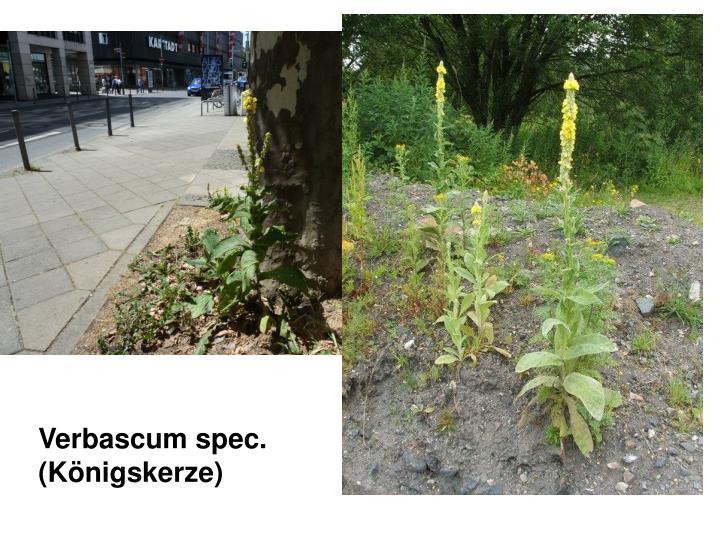 Verbascum spec. (Königskerze)