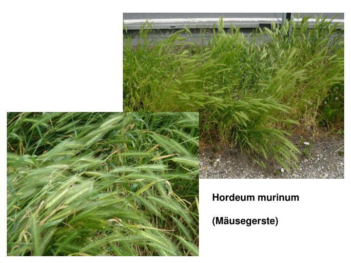 Hordeum murinum