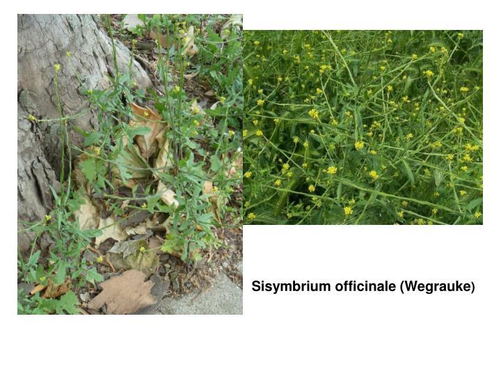 Sisymbrium officinale (Wegrauke