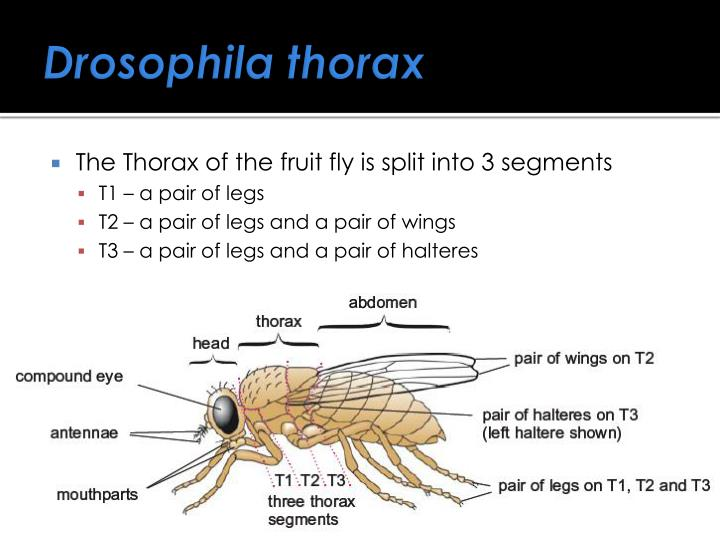 Drosophila thorax