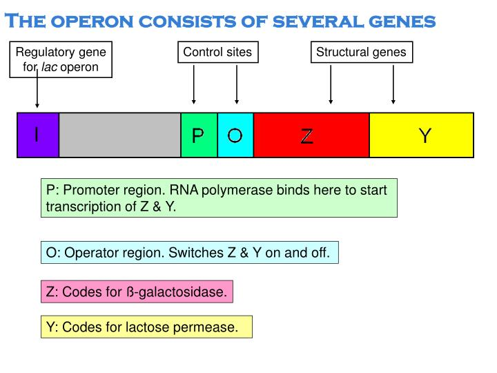 The operon consists of several genes