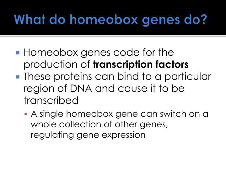 What do homeobox genes do?