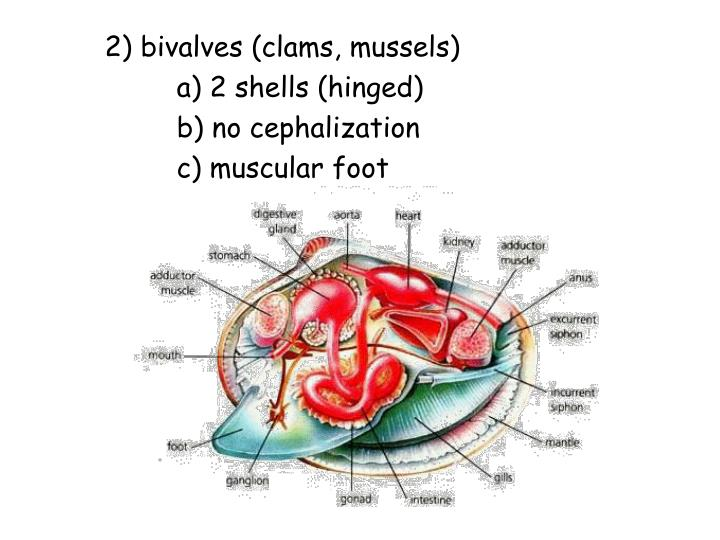 2) bivalves (clams, mussels)