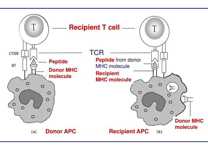 Recipient T cell