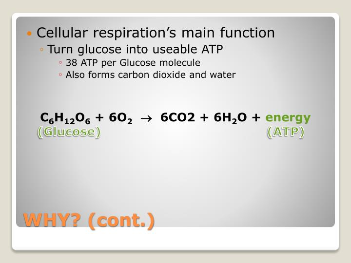 Cellular respiration's main function