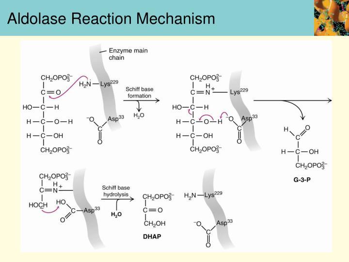 Aldolase Reaction Mechanism