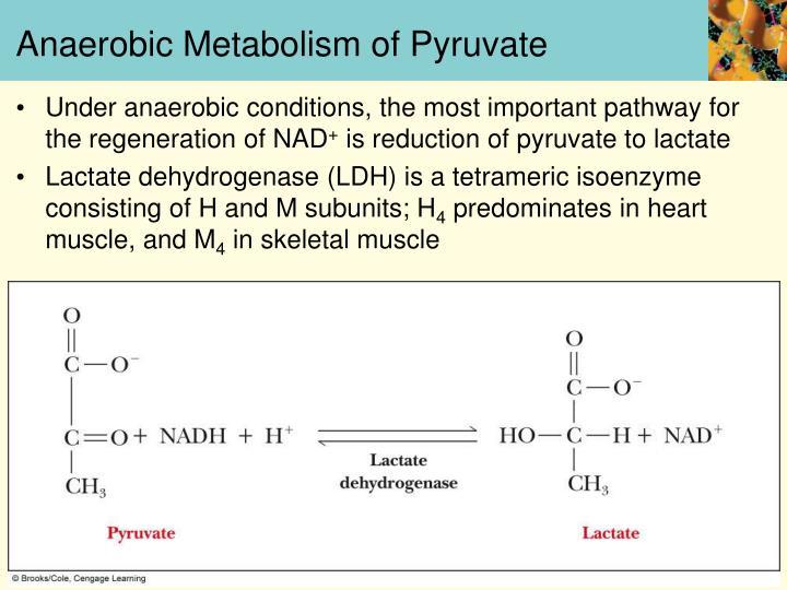Anaerobic Metabolism of Pyruvate