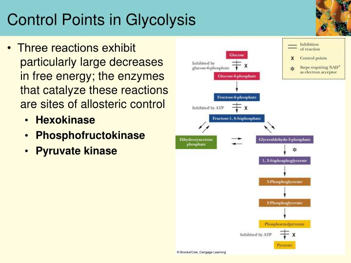 Control Points in Glycolysis