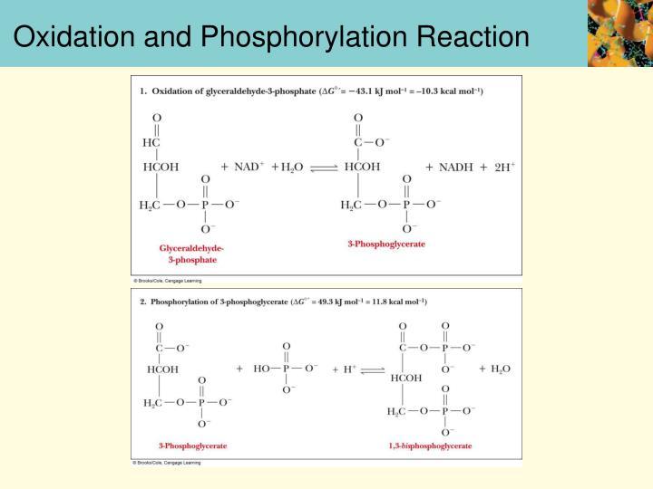 Oxidation and Phosphorylation Reaction
