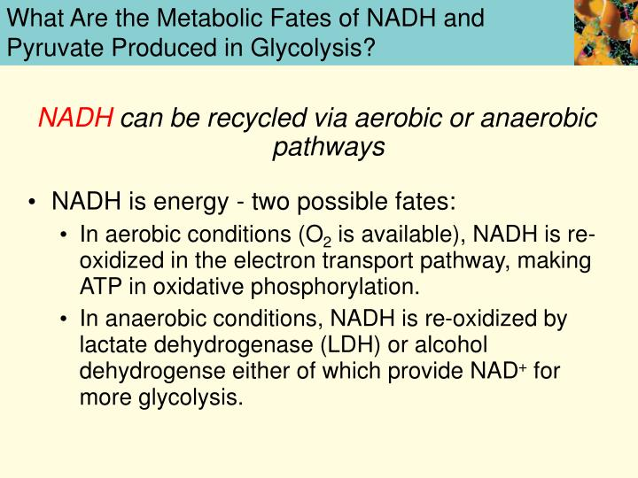 What Are the Metabolic Fates of NADH and Pyruvate Produced in Glycolysis?