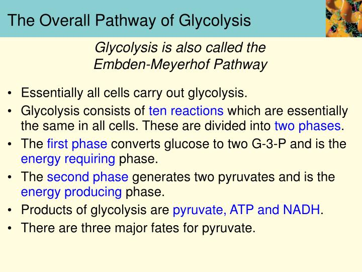 The overall pathway of glycolysis