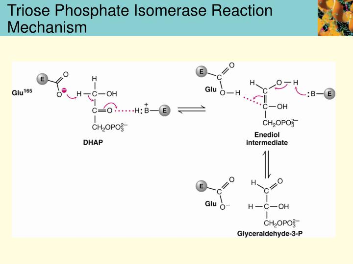 Triose Phosphate Isomerase Reaction Mechanism