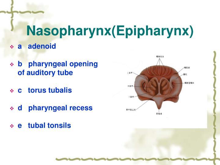 Nasopharynx(Epipharynx)